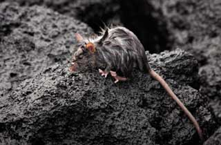 featured-rat-trap