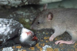 Seabird predation by a black rat. Photo: I. Jones.