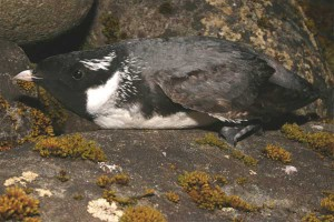 Ancient Murrelet. Photo: I. Jones