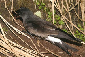 Fork-tailed Storm Petrel. Photo: I. Jones.